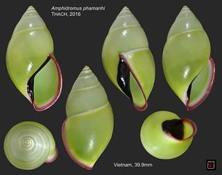 amphidromus phamanhi vietnam 39mm9