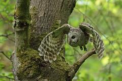 05202018Barred Owl FU5A1955 (Steven Arvid Gerde) Tags: owl