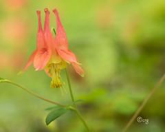 wild columbine (crgillette77) Tags: pennsylvania bradfordcounty pisgah wildcolumbine aquilegiacanadensis