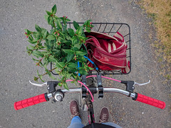 Cliched but this basket carries more than my lunch (pnwrovr) Tags: cycling bikebasket basketlife fuchsia flowers plants hardrock specialized steelbike vintagemountainbike 90svintage mtb