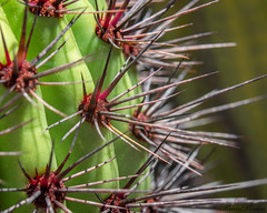 Prickly Paradise: Organ Pipe Cactus (Amazing Aperture Photography) Tags: green cactus cacti macro closeup upclose nature desert sonorandesert southwest arizona tucson succulent sharp painful dangerous plant flora spines nikon nikond800 unique abstract art prickly pricklyparadise organpipecactus red