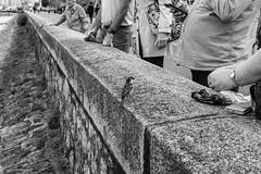 moineau (fotoleder) Tags: 2018 canards nuageux eau nature cignescignets rhône genève flederma nb printemps bw foulque monochrome quai suisse faune oiseaux rade noiretblanc ville lac moineaux