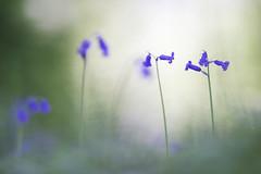 Hyacinthoides non-scripta (Thomas Vanderheyden) Tags: hyacinthoidesnonscripta jacinthesauvage nature naturesfinest ngc beautifulearth flore flora flower fleur samyang135mm fujifilm xt1 thomasvanderheyden colors couleur sweetness douceur blue violet green vert bleu bokeh soft