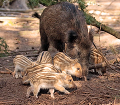 Wild boar Apenheul BB2A9085 (j.a.kok) Tags: zwijn everzwijn wildzwijn boar wildboar babyboar babypig babyzwijn big piglet moederenkind motherandchild bergendal apenheul
