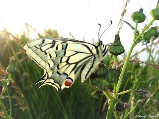 Butterfly 1648