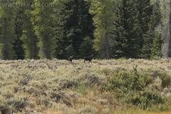 "Moose at Schwabacher's Landing • <a style=""font-size:0.8em;"" href=""http://www.flickr.com/photos/63501323@N07/40827035315/"" target=""_blank"">View on Flickr</a>"