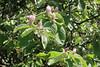 Cydonia oblonga-08 (The Tree Library (TreeLib.ca)) Tags: cydoniaoblonga quince