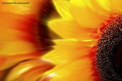 Spring (Ecinquantotto ( + 1.482.000 views !!! GRAZIE) Tags: colori colors primavera girasoli sole sun italia italy roma rome fiori flowers