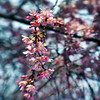 what spring does (1crzqbn) Tags: lensbaby sliderssunday pdx cherry flowers pink textures dof bokeh blur texture