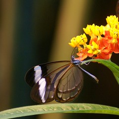 Glasswinged butterfly (Jaedde & Sis) Tags: gretaoto butterfly through dof insect glasvingesommerfugl glasswinged friendlychallenges challengeclubwinner transparent