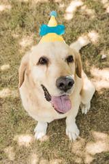 Tristán (gyogzz) Tags: photo photographie photoshoot canon 80d can dog labrador smash cake