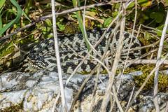 Adder  up from Boundary stone Ayrmer Cove (Matchman Devon) Tags: adder viper berus south hams devon