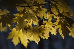 Wheaton Regional Park MD - Backlit Leaves (Modkuse) Tags: photoart art autumn leaves nikon nikondslr nikond700 nikkor70210mmf4056 nikkor nikkorlens