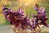 Flickr Friday - Flare (Ramunė Vakarė) Tags: flickrfriday flare plant flores hyacinthus hyacinthusorientalis asparagaceae commonhyacinth lithuania eičiai ramunėvakarė sundaylights