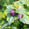 Dead Nettle - Lamium (CDfolia) Tags: lamium deadnettle flowers 2017 scotland august summer