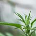 cannabis marihuana planta-129