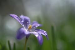 Après la pluie (Patrice StG) Tags: québec printemps bokeh spring pentax pentaxart cosinon55mmf21 gimp fleur flower bubbles bulles