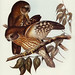 Athene boobook (Boobook Owl) Illustrated by Elizabeth Gould (1804–1841) for John Gould's (1804-1881) Birds of Australia (1972 Edition, 8 volumes). One of the most celebrated publications on Ornithology worldwide, Birds of Australia introduced more than 30