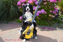 The Rock Chick (ASHA THE BORDER COLLiE) Tags: rock chick guitar playing dog funny animal picture ashathestarofcountydown
