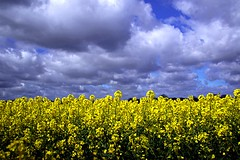 Sea of Gold (GemFaith) Tags: field golden uk norfolk spring crop baconsthorpe cloud clouds yellow rapeseed bright scape oilseed gold farming