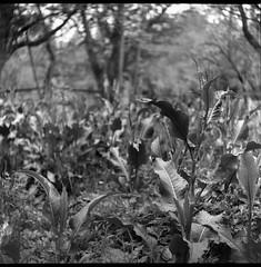 wild vegetation, eye level, French Broad River Park, Asheville, North Carolina, Ricohflex Dia M, Arista.Edu, Ilford Ilfosol 3 developer, mid April 2018 (steve aimone) Tags: vegetation weeds eyelevel frenchbroadriverpark asheville northcarolina ricohflexdiam aristaedu200 ilfordilfosol3developer tlr twinlensreflex 120 film 120film mediumformat monochrome monochromatic blackandwhite 6x6 squareformat