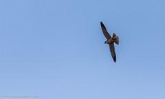 9Q6A2134 (2) (Alinbidford) Tags: alancurtis alinbidford birdofprey brandonmarsh hobby nature wildbirds wildlife