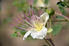 capparis spinosa (FrVi) Tags: capparisspinosa cappero caper flower nature fiore day