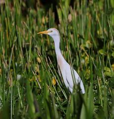 05-04-18-0015929 (Lake Worth) Tags: animal animals bird birds birdwatcher everglades southflorida feathers florida nature outdoor outdoors waterbirds wetlands wildlife wings