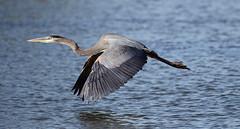 Low flying with wings down ... (rambokemp) Tags: phoenixarizona phoenix arizona papago park