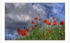 Du bleu, du blanc ... et des coquelicots (Charlottess) Tags: nikon5300 vaucluse mai rouge fleur poppy coquelicot