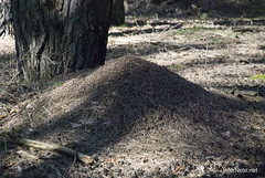 Волинський ліс Мурашник InterNetri Ukraine 1249325312