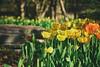 Signs of Spring (flashfix) Tags: may082018 2018inphotos ottawa ontario canada nikond7100 55mm300mm nikon flashfix flashfixphotography tulip festival spring flowers floral nature mothernature tulips yellow orange colourful