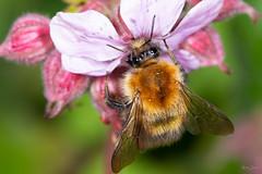 Bumble bee (Shane Jones) Tags: bumblebee bee insect nature wildlife nikon d7200 tamron180mmmacro pk3extensiontube macro macrolife macrophotosnolimits macrolicious