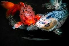 Koi Pond (helenehoffman) Tags: pond borcadedcarp fish amurcarp sandiegozoo cyprinusrubrofuscus water nishikigoi koi animal japan