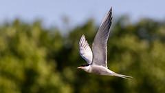 Common Tern (Unintended_Keith) Tags: commontern birdinflight nature wildlife fishing maidenerleghlake berkshire sunny spring evening