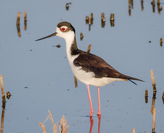 Black-necked Stilt (tresed47) Tags: 2018 201805may 20180503bombayhookbirds april birds bombayhook canon7d content delaware folder peterscamera petersphotos places season shorebirds spring stiltblacknecked takenby us ngc