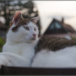 Merlin - Evening Lookout thumbnail