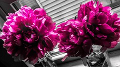 """I can still hear you saying / You would never break the chain (Never break the chain)"" ―Fleetwood Mac 🌸 🌸 🌸 (anokarina) Tags: psmobile adobephotoshopexpress colorsplash appleiphonese 🌺 🌼 🌸 highlands louisville kentucky ky pink peonies flowers blossoms blooms bouquets glassware vases peony"