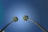 Two Palms (justjimwilldo) Tags: palm tree sky green blue mountgambier southaustralia sinkhole umpherston
