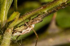 752A2927 (Trefor2011) Tags: longjawedorbweaverspidertetragnathasp norfolk stbenets macro spider horning england unitedkingdom gb