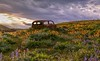Resting place among the flowers (Cole Chase Photography) Tags: balsamrootsunflowers columbiagorge washington spring sunset lupine oldcar rusted