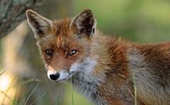 red fox awd BB2A4068 (j.a.kok) Tags: fox redfox rodevos vos europe europa animal awd amsterdamsewaterleidingduinen predator mammal canine zoogdier dier