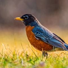 Robin (Daniel000000) Tags: red robin green grass bokeh nikon bird animal cute precious beautiful mean grumpy beak eyes wings feathers creatures dslr d750 photography spring hartman creek state park wi wisconsin midwest new art light sunshine sunlight sun instagram explore adventure travel travelwi