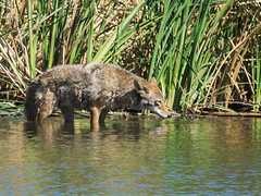 0518 DSC04681 ANIMATED GIF (JRmanNn) Tags: coyote lasvegaswash