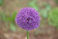 Allium His Excellency (douneika) Tags: allium his excellency amaryllidaceae