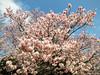 Sakura (stove007) Tags: shibuja blossom wedding shinjuku ueno modern sakura sake backpacker cherry tradtion crossing train tokyo trip park jrline ramen japan blooming bunkyōku tōkyōto jp