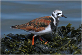 Turnstone, Silloth,12 May 18 (1 of 2)