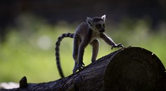 Balance (claudiacridge) Tags: balance baby animal zoo nature wildlife ringtailed lemur