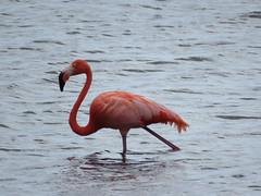Bonaire 2018 (Valerie Hukalo) Tags: bird oiseau flamand bonaire antilles caraïbes paysbas nature valériehukalo hukalo