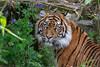 Nonja (Joey's Wildlife and Nature) Tags: sumatran tiger tigress burgerszoo bigcat big wild cat wildcat canon canonphotography zoo zoophotograpy zoophotography sigma sigma50500